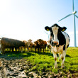 cow wind