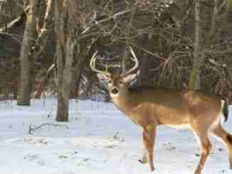 Winter Buck