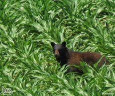 Bear -- Photo from Iowa DNR