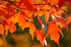 Maple leaves all turning red