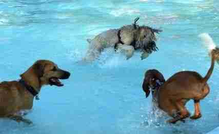 dogs-swimming