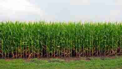 Photo of Corn growth making uncontrolled intersections tedious