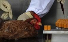 Chicken in Lab