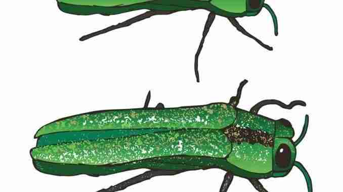 The Emerald Ash Borer: Eating and Bringing Death to Your Mountai