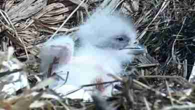 Photo of Web-famous Decorah eagle welcomes first eaglet of 2018