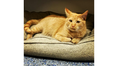 Photo of PAWS Pet of the Week – Homer the cat