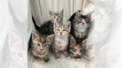 Photo of PAWS Pet of the Week – Cookie Kittens